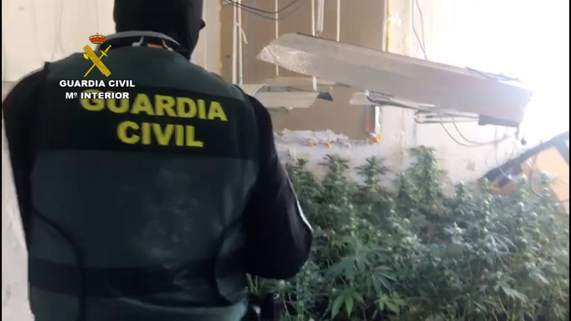 Detenido un joven en Roquetas de Mar como responsable de un cultivo de 93 plantas de marihuana